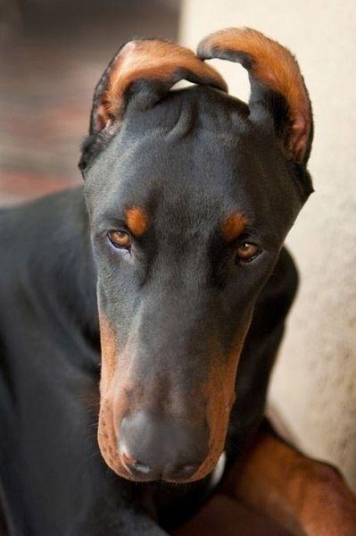 Taping Dog S Ears Uk