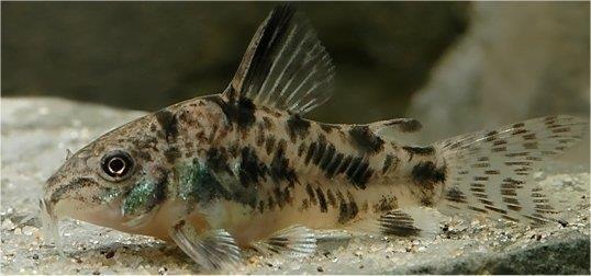 5 Beautiful Peppered Cory Corydoras Paleatus Catfish Moss Java Shrimp Guppy Fish Rare Fish Tropical Fish Aquarium
