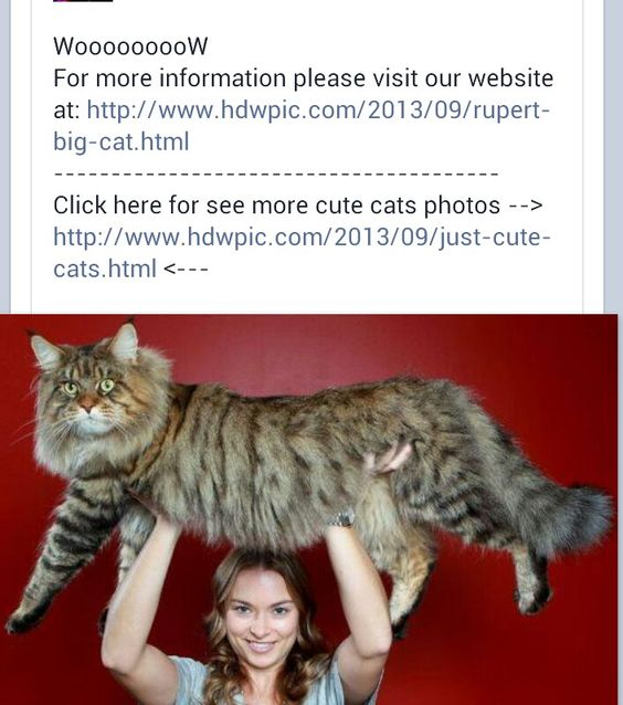 That's one big puddy cat! Looks like a Maine Coon.