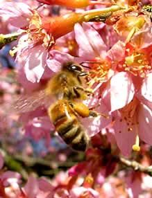 Bees play a critical role in healthy wild plant communities and gardens. How to attract them.