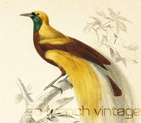 1861 Oiseau de Paradis gravure ancienne Ch d Orbigny Original Ornithologie  Lithographie peinte  la main