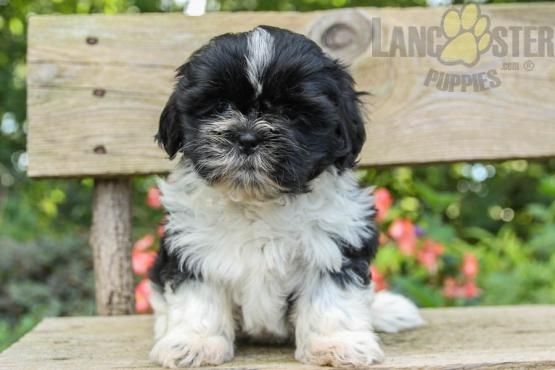Sally Shih Tzu Puppy For Sale In Shippensburg Pa Lancaster
