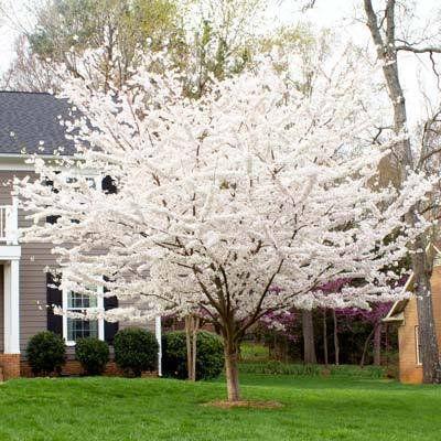 Yoshino Cherry Tree Walmart Com Flowering Cherry Tree Yoshino Cherry Tree Garden Trees