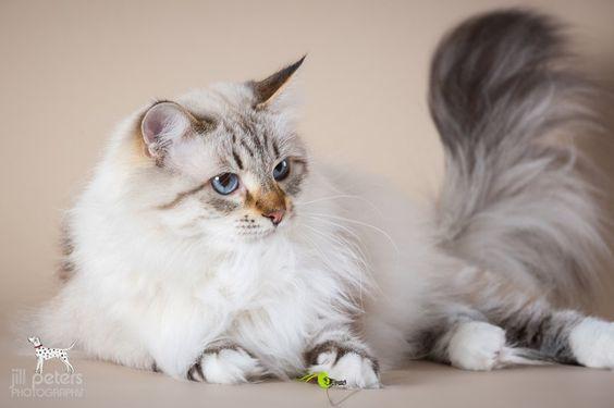 Katzen | Victor's Sibirische Katzen und Neva Masquarade