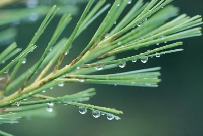 How to Extract Essential Pine Tree Oil