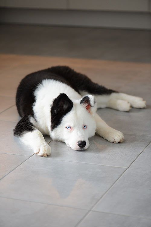 Yakutian Laika Dog Breed Information Dog Breeds Koolie Dog Dogs