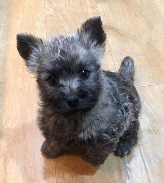 Cairn Terrier puppy So overjoyed that we are getting our new Cairn puppy in January., We are a terrier family. Love'em.