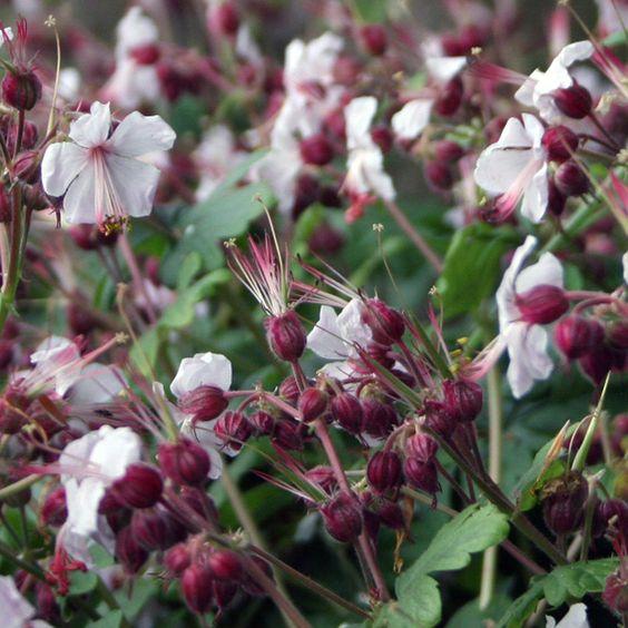 geranium macrorrhizum 39 spessart 39 garden pinterest geraniums and geranium macrorrhizum. Black Bedroom Furniture Sets. Home Design Ideas