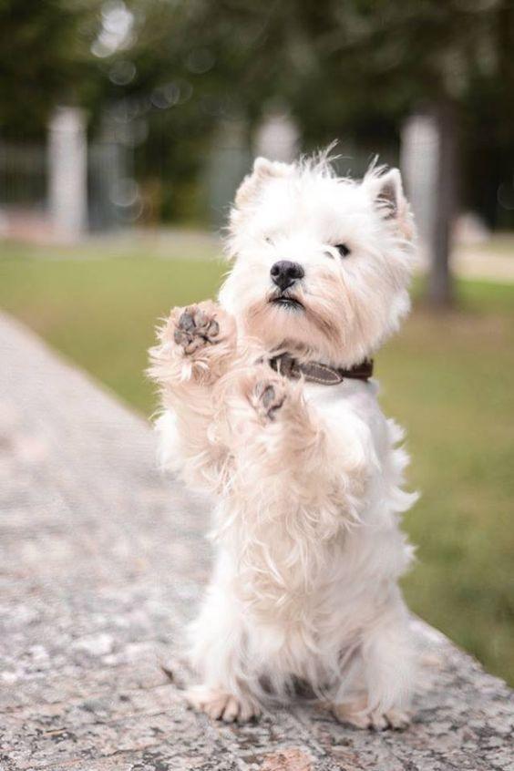 J'adore les west highland terrier (ou westie). Mon premier chien, décédé il y a quelques années, en était un. Très costaud, très têtu, très joueur.