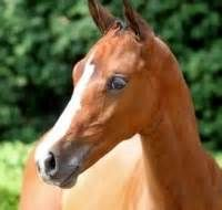 Acorado Ii Stallion - Yahoo Image Search Results