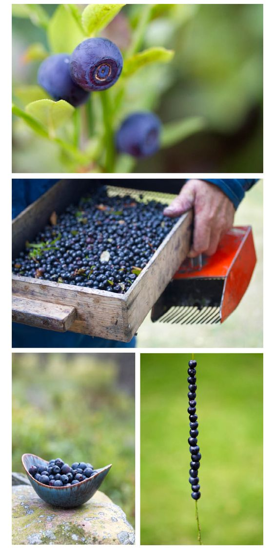 Blueberry picking in Sweden-well not exactly a bucket list item, but definitely wanna do some type of harvest