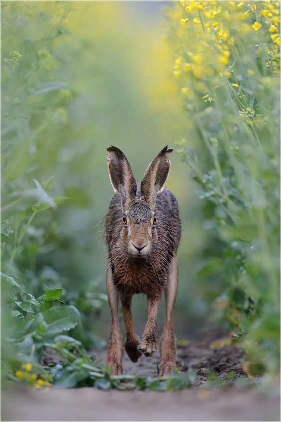 Incredible capture..!! love hares :) Photography by P. Lindel.