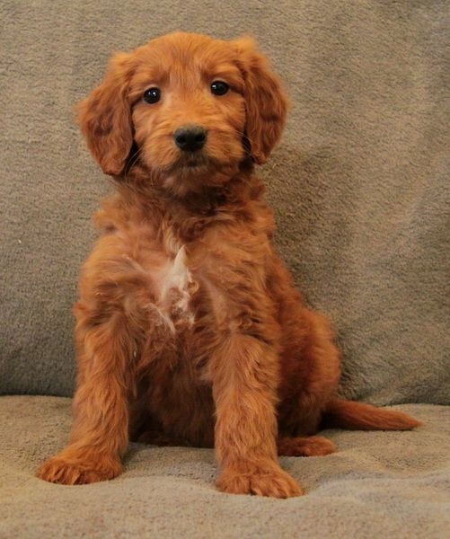 Goldendoodlepup Cockapoo Puppies For Sale Puppies For Sale