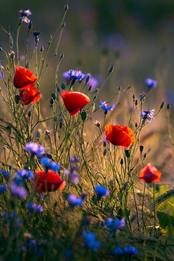 Poppies and cornflowers | Poppies and cornflowers in wheat field against the evening sun.: