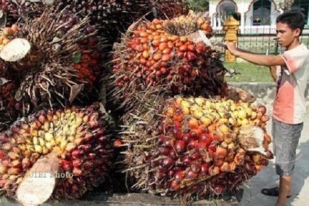 "Petani kelapa sawit penghasil tandan buah segar, minyak sawit mentah dan minyak inti sawit di Riau tidak dikenakan Pajak Pertambahan Nilai atau PPN sebesar 10%. Indra Wardhana, Kepala Seksie Penyuluhan dan Bimbingan Direktorat Jenderal Pajak Wilayah Riau, mengatakan pengenaan PPN 10% hanya untuk pelaku usaha perkebunan yang memiliki penghasilan di atas Rp4,8 miliar per tahun. ""Sesuai Surat Edaran…"