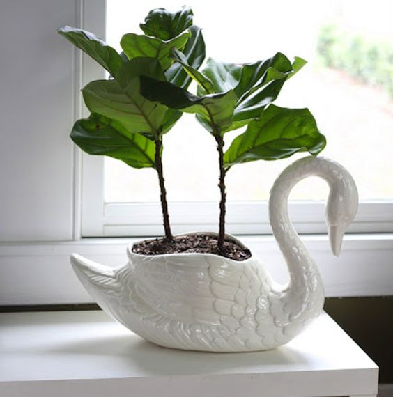 Another Baby Fiddle Leaf In A Swan Jar My Grandmother