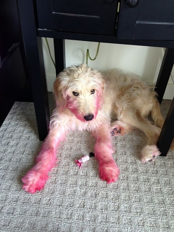 Who ate the lipstick? My dog Rufus got into a pink stamp pad one day and looked like this. I at first thought he was bleeding.