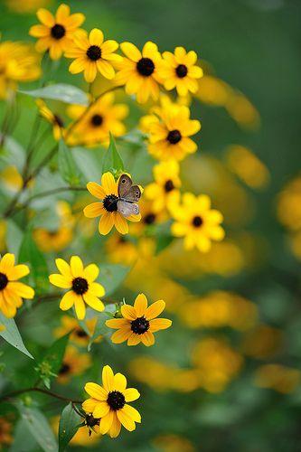 .margaritas amarillas y mariposa