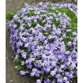 Bodendecker? PN1479 Pflanzen - Stauden - Bodendecker und niedrige Stauden - Blauer Teppich-Phlox,3 Pflanzen