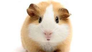 Happy Birthday! - Funny Birthday Songs (Gary The Guinea Pig) August 6