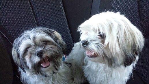 My puppies dexter & yeezy #malshi #maltese #shitzhu