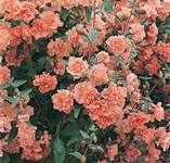 Coral Colored Flowers - Bing Images