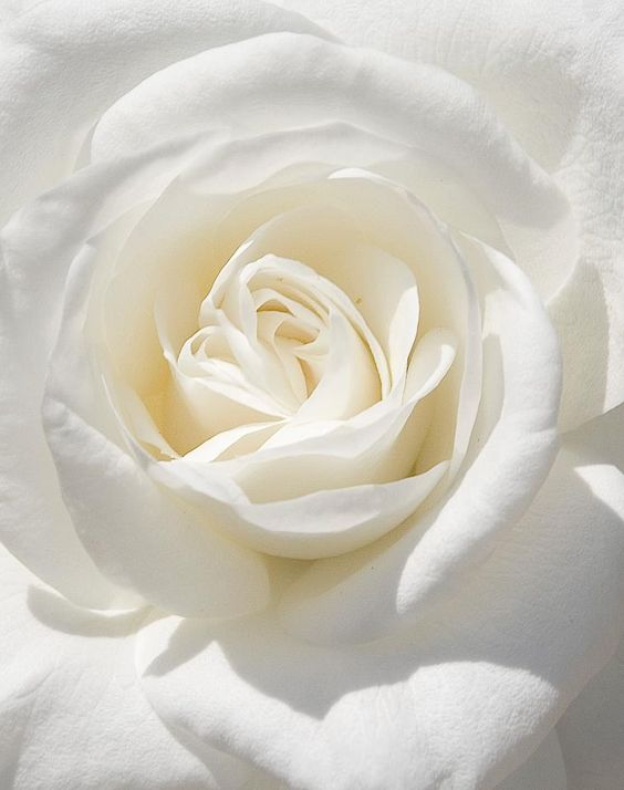 "white rose (Victorian meaning: ""I am worthy of you; spiritual love; innocence; purity; secrecy; silence""):"