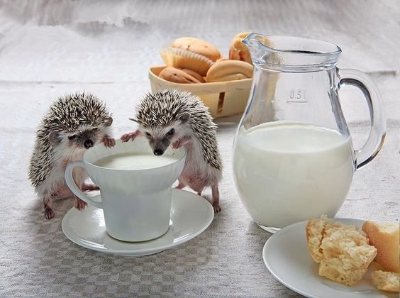 Two hedgehogs having their morning milk.: