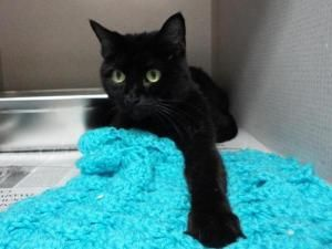 KITTY is an adoptable Domestic Short Hair-Black Cat in Delhi, NY. KITTY was surrendered to the shelter on April 21, 2012 when she was about 9 years old, because her guardians got divorced and neither ...