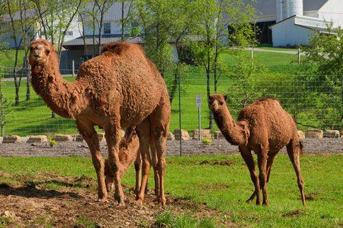 Feed Camels at The Farm at Walnut Creek