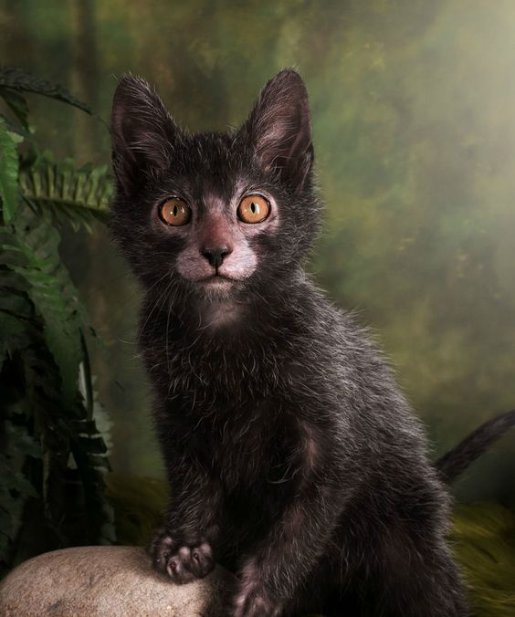 Lykoi Werewolf Cats | These cats act like dogs and look like werewolves. #refinery29 http://www.refinery29.com/2015/10/96735/werewolf-cats-lykoi