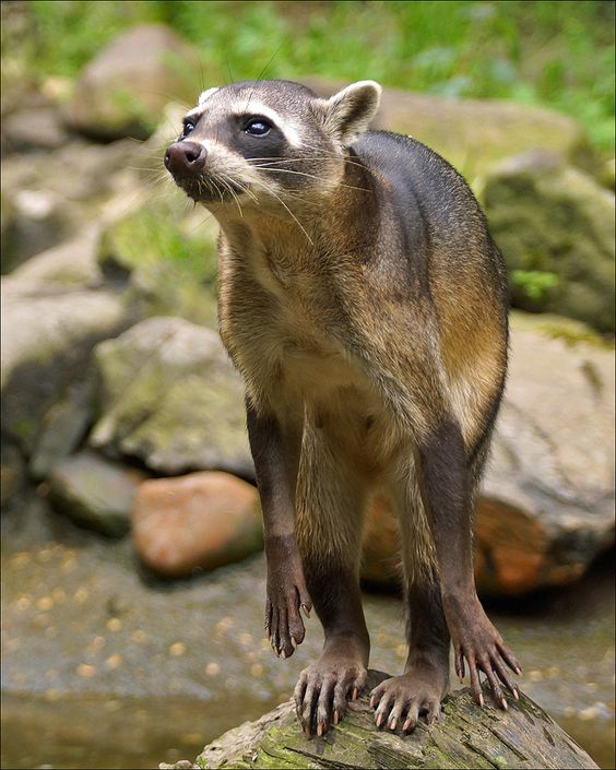 The Crab-eating Raccoon (Procyon cancrivorus) is native to marshy and jungle areas of Central and South America