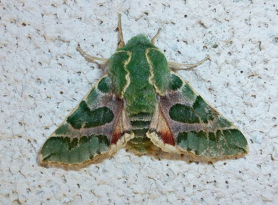 pacific green sphinx moth Arctonotus lucidus. Host plants are Camissonias and Clarkias (Onagraceaes).