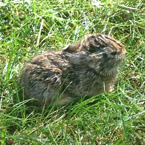 A baby bunny we found wandering on our front lawn. He was only 4 inches long!