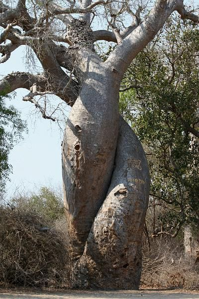 The tree of love, also called tree of life, is in fact the union of two different trees, the fig and Hasina.
