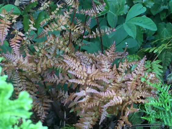Dryopteris in its many forms, commonly called a wood fern, is a great low maintenance and usually evergreen architectural plant for a shady spot.  Make good use of these under taller shrubs and in gaps in the border.