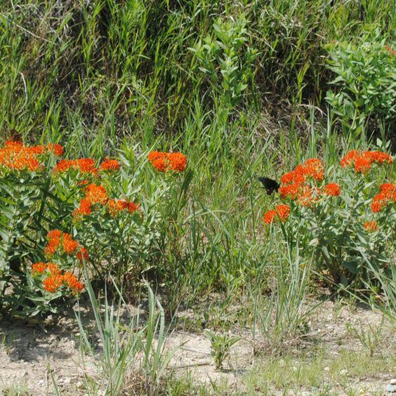 Indian Paintbrush- Kansas Wildflowers