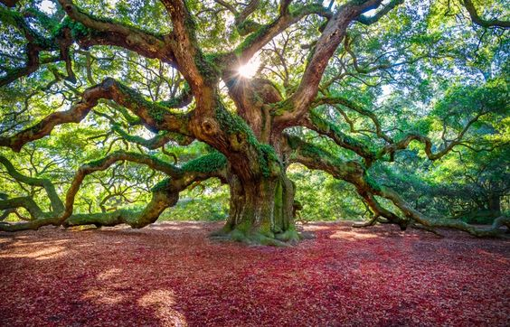 The Angel Oak by Shan Huang