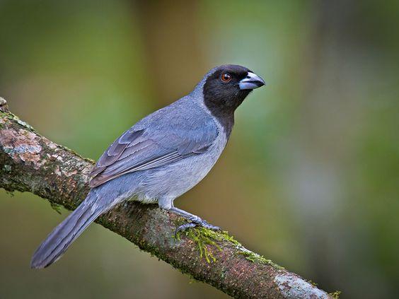 sanhaçu-de-coleira -   Schistochlamys melanopis (Latham, 1790) --{ Birds }--