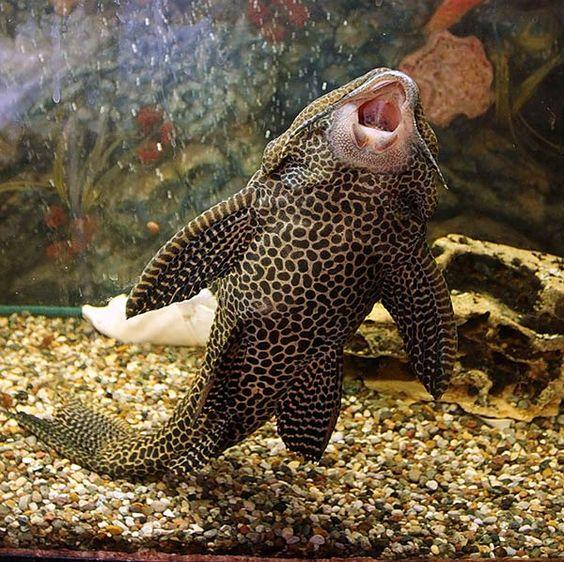 Brocade Catfish or a Walking Fish ...........click here to ... - photo#34