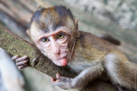 Affen, überall Affen!