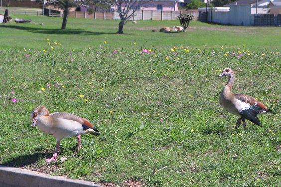 Egyptian Goose -Kolgans-