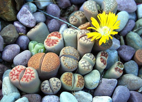 Living Stones by Laurel Talabere: Lithops are succulents which look like stones but are very much alive, have startling colors and extravagant showy flowers which open in the afternoon and close at night. #Laurel_Talabere #Lithops #Photography