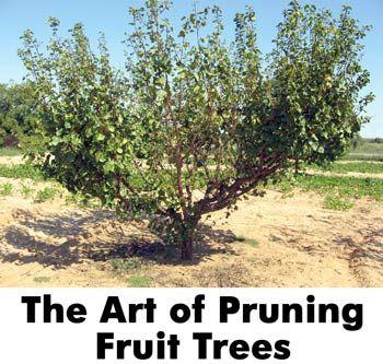 Pruning for maximum yield❤❤