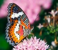 Exotic Butterflies - Bing Images