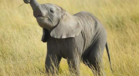 Information About Elephants - Baby Animals