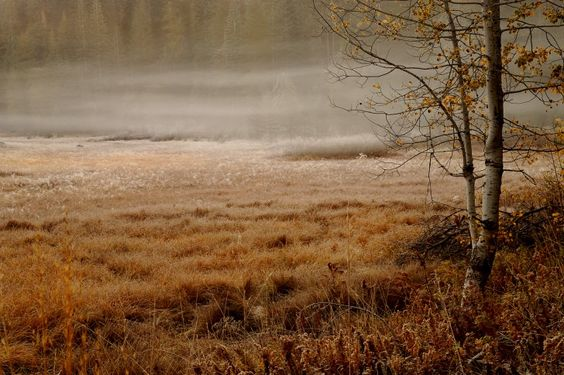 Foggy morning, birch, fall, fog, forest, spruce, grass, swamp, cloudy, nature Desktop Wallpapers and Backgrounds