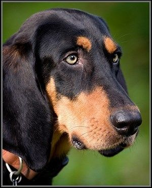 black and tan coonhound photo | Black and Tan Coonhound Dog - Breed Information