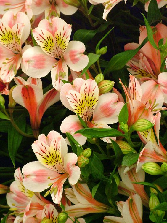Alstromeria: different markings and colors, ranging from white, golden yellow, and orange, to apricot, pink, red, purple, and lavender. The most popular and showy hybrids commonly grown today result from crosses between species from Chile (winter-growing) with species from Brazil (summer-growing).