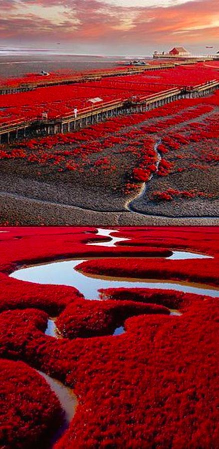 Praia vermelha em Panjin, China, no pântano do delta do rio Liaohe.: